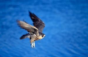 Peregrine falcon flying,wing blur